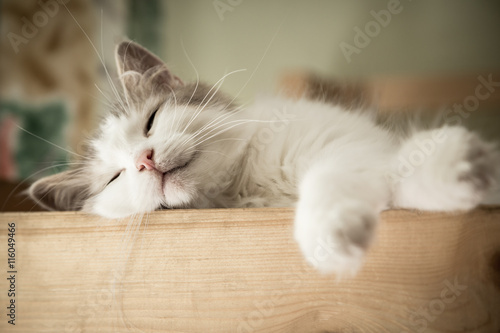 Portret słodki sen biały kot