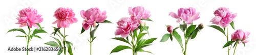 Zestaw piękne kwiaty piwonia na białym tle