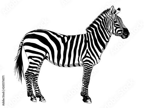 Afrykańskie paski ręcznie rysowane Zebra pełna-długość atramentu