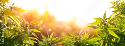 Konopi Z Kwiatami Na Zachodzie Słońca - Sativa Trawa - Prawnej Marihuany