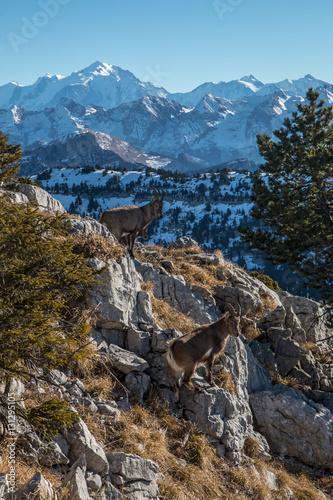 Kozy górskie w Alpach