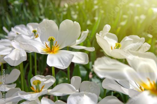 Białe tulipany i słońce.