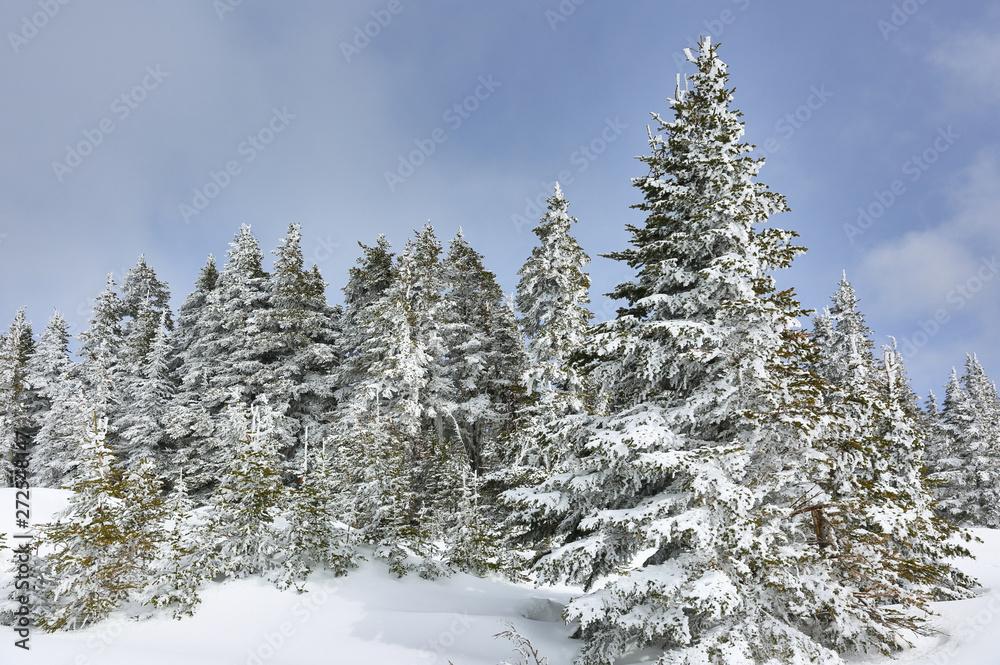 Sosny pokryte śniegiem w Hurricane Ridge w słoneczny dzień. Huragan grzbiet-to górzysty region w Olympic park Narodowy Washington.