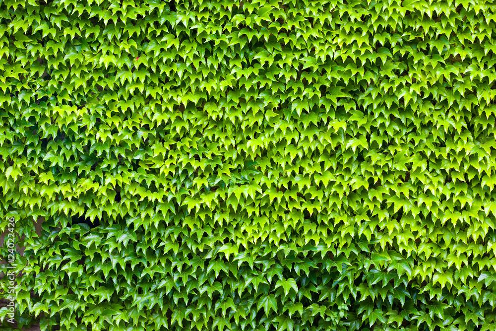 Liście dzikiego zielonego wina
